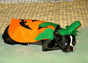A pumpkin is the #1 selling doggy costume this year!